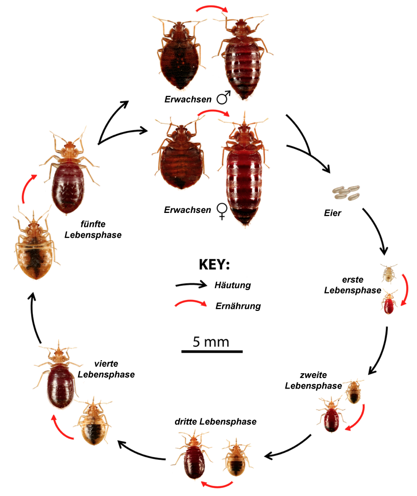 Life-Cyle-of-the-Bedbug DE
