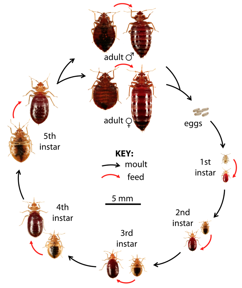 Life Cyle of the Bedbug